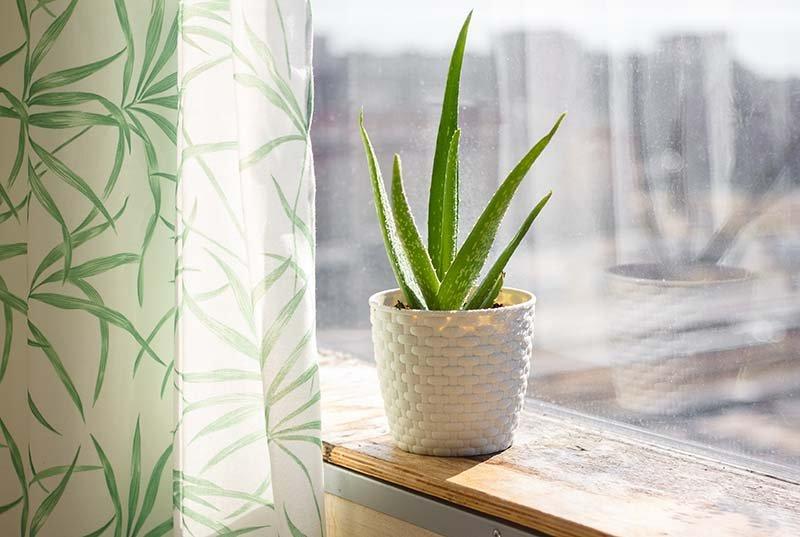 Oxygen Indoor Plants: Aloe Vera Plant