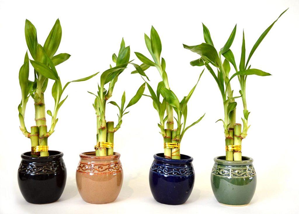 Oxygen Indoor Plants Bamboo Plant