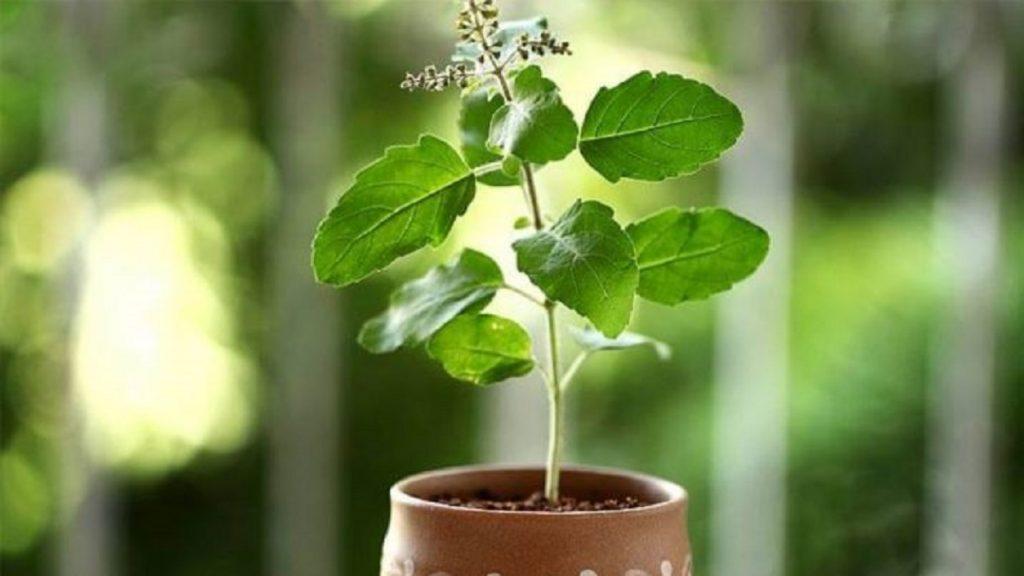 Oxygen Indoor Plants Tulsi